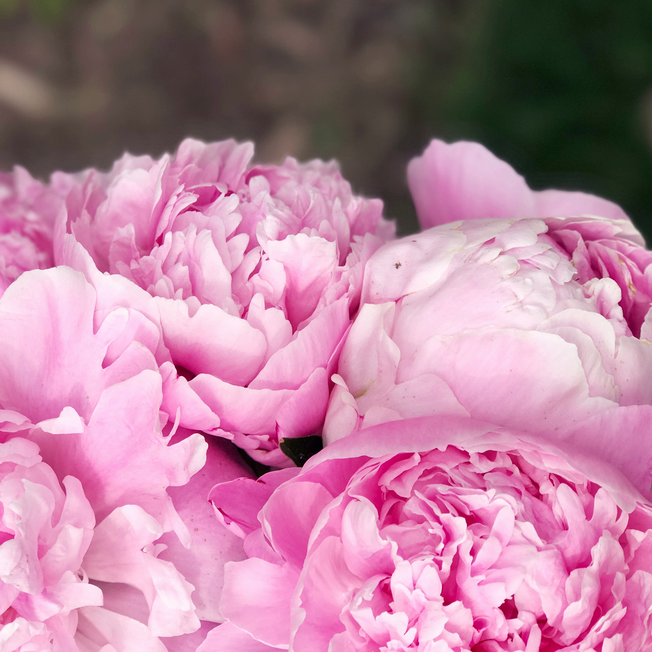 Tips for growing peonies: How to plant and establish a healthy peony plant.